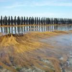 Sargasses : valorisation d'une espèce invasive