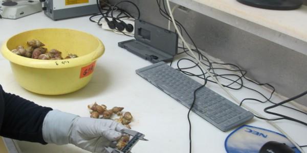 Mesure de bulots (laboratoire de biologie)