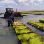 L'entéromorphe, peut-être une algue bientôt exploitée…