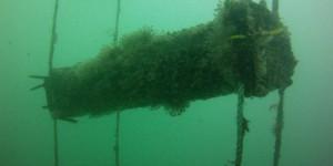 Optimisation de la survie du naissain d'huîtres.
