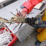Pêche scientifique dans les réserves de homards.