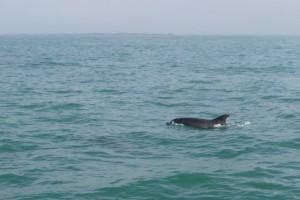 Les grands dauphins marqueurs de pollutions.