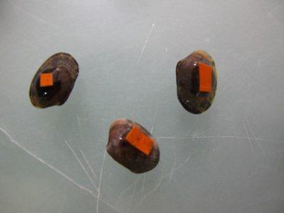 Palourdes identifiées par maquage (12 mm)