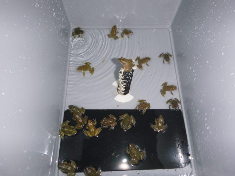 Les grenouilles dans leur nouvel appartement (@SMEL)