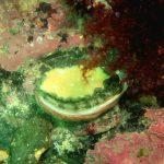 Pourquoi les ormeaux de Saint Malo résistent mieux à Vibrio harveyi que ceux de Molène ?
