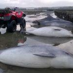 Échouages de dauphins à Saint Vaast la Hougue