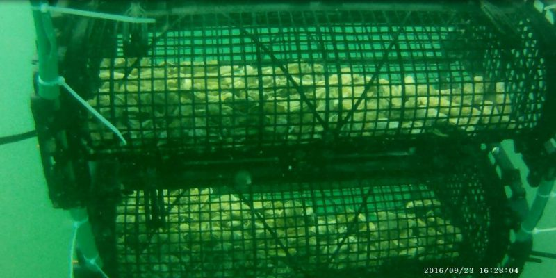 Huîtres en élevage dans un panier d'élevage en eau profonde (@SMEL)