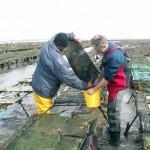 Point sur la mortalité des huîtres